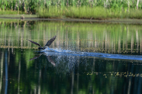 6-29-16 Common Loon Take Off