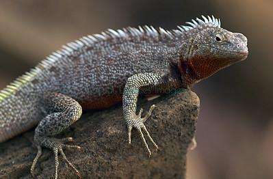 Lava Lizards - Microlophus