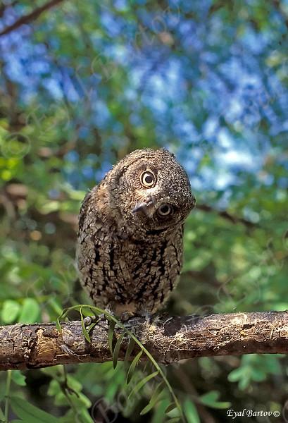 Scops Owl 2_resize.jpg