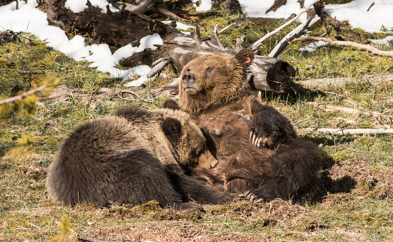 Grizzly sow and cub Yellowstone National Park WY DSC06661.jpg