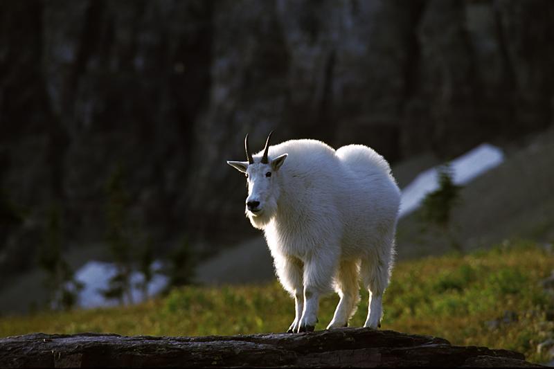 Mountain Goat on the Hidden Lake Trail