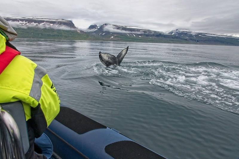 whale isafjordur 3 copy7.jpg