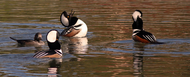 Headthrows and Crest Mating Displays , Hooded Mergansers, Radio Road/Redwood Shores Channel