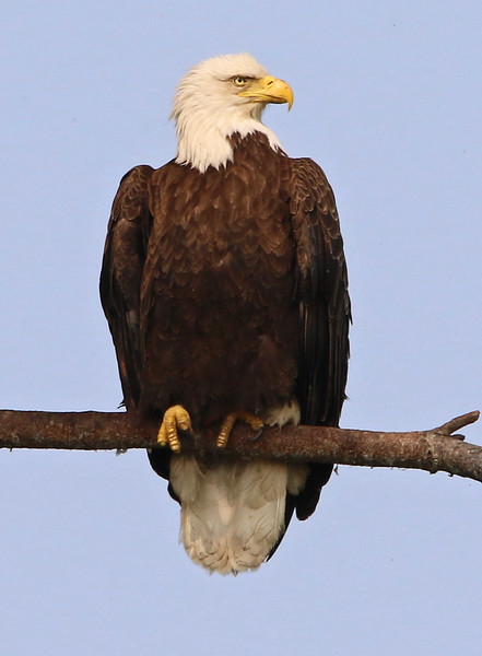 bald eagle york maine.jpg