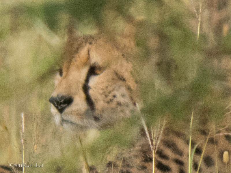 CheetahK-5.jpg