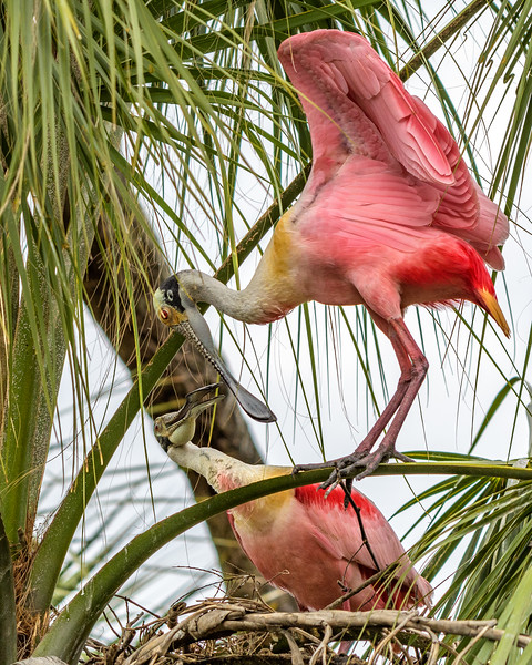 Mr. and Mrs. Roseate Spoonbill