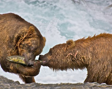 Grizzly - Salmon Relationships