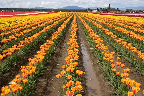Tulip Festivals