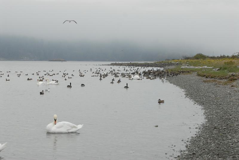 070903 8351 Canada - Victoria - Fort Rodd Hill and Canada geese _F _E ~E ~L.JPG