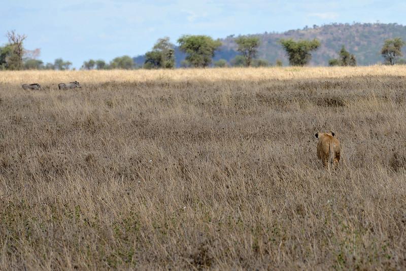 Target-Locked-lioness-warthogs.jpg