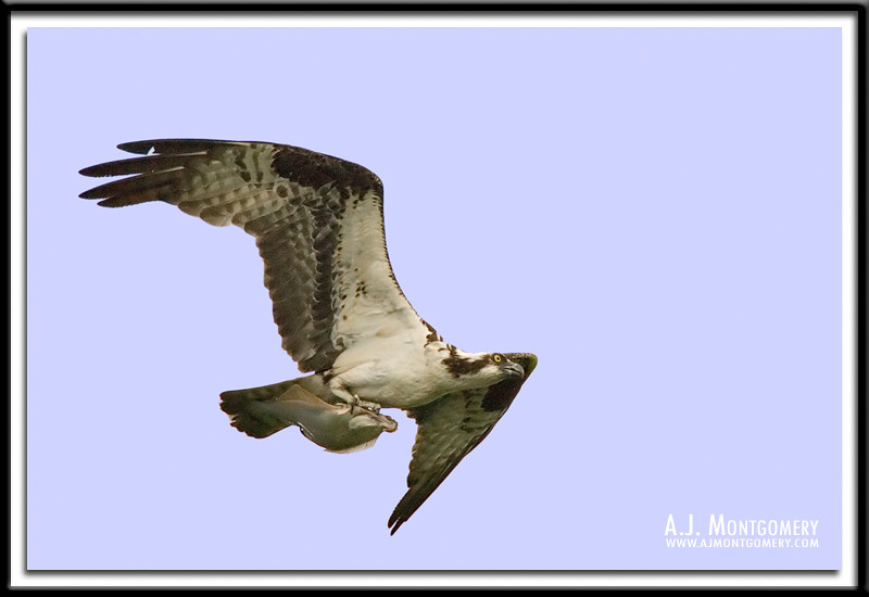 Osprey - In flight with fish