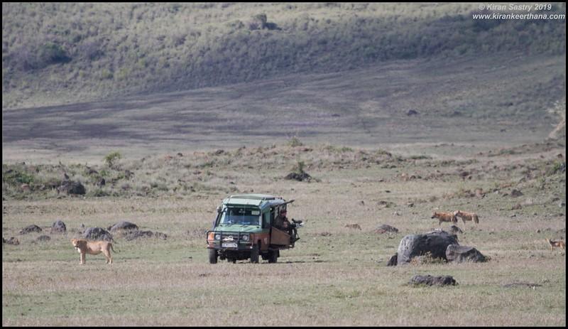 Film Crew on a lion kill with hyenas & jackals looking for scraps, Ngorongoro Crater, Ngorongoro Conservation Area, Tanzania, November 2019