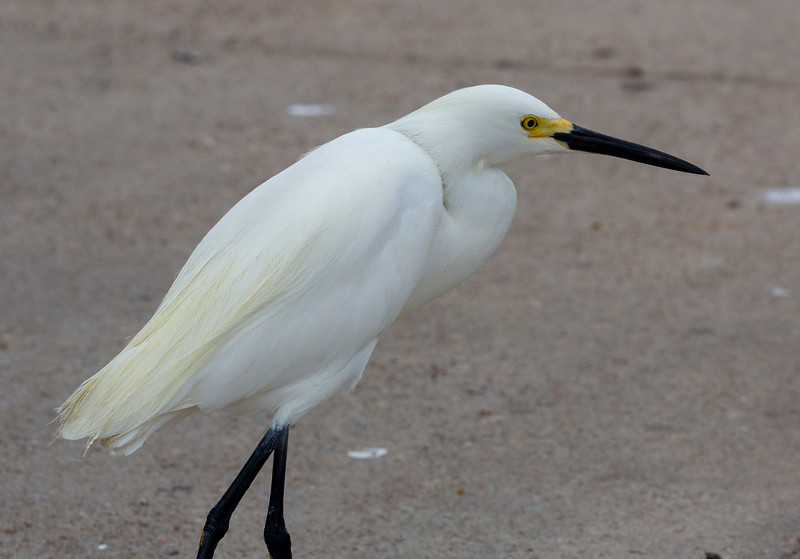 We arrive at the Texas City Dike ... greeted by this Snowy Egret.