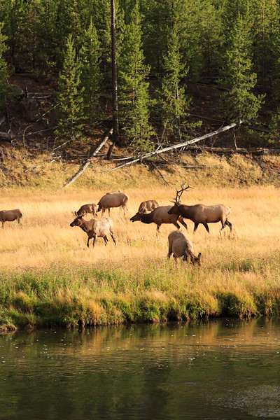 Elk Rut along the Madison River 001