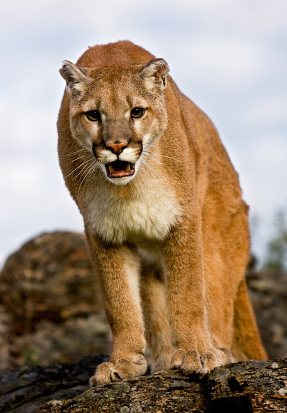 Something (or someone) has caught the attention of this cougar - also known as mountain lion or puma.