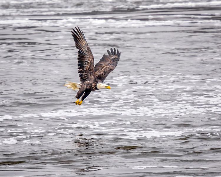 -_Bald Eagle 2014-12-18-9-2.jpg