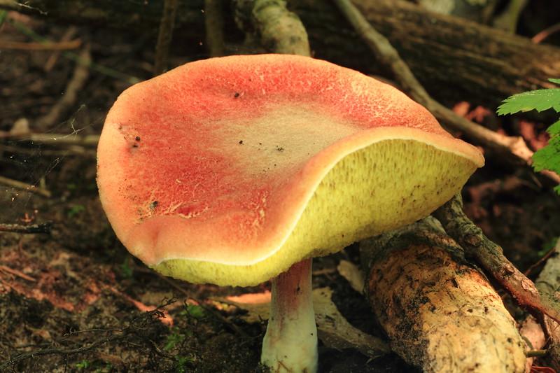 Mushroom- Siren WI