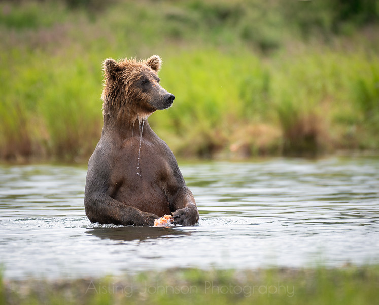 Juvenile brown bear, Katmai National Park and Preserve, Alaska