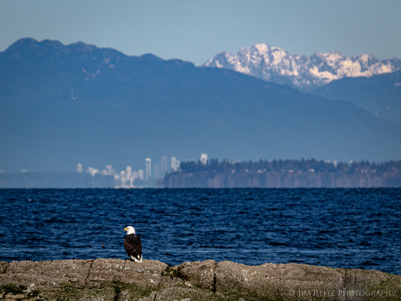 Bald Eagle with view of distant downtown Vancouver.