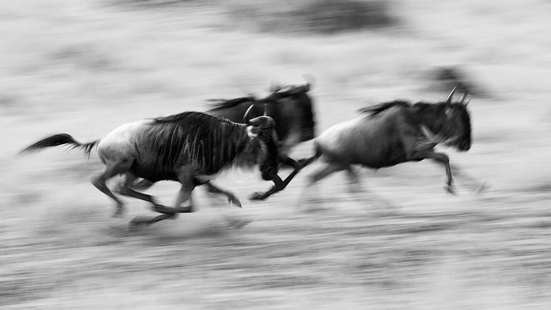 IMG_4082_running_wildebeests.jpg