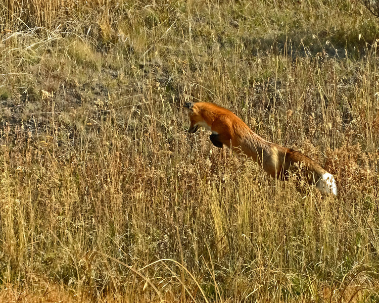 Red Fox 4, Jumping, YNP.jpg
