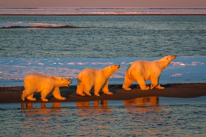 Alaska Polar Bear Photo Workshop-7.jpg