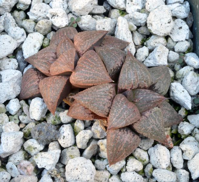 Haworthia emeyae
