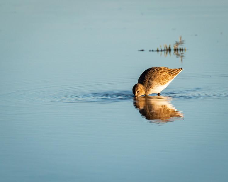 shorebirdsripple.jpg
