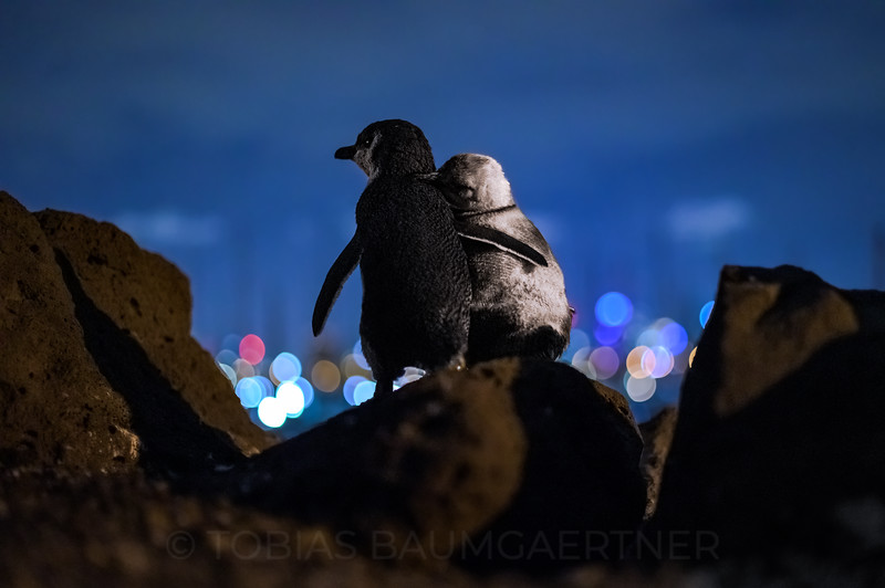 Fairy Penguins watching Melbourne Skyline 2 Landscape