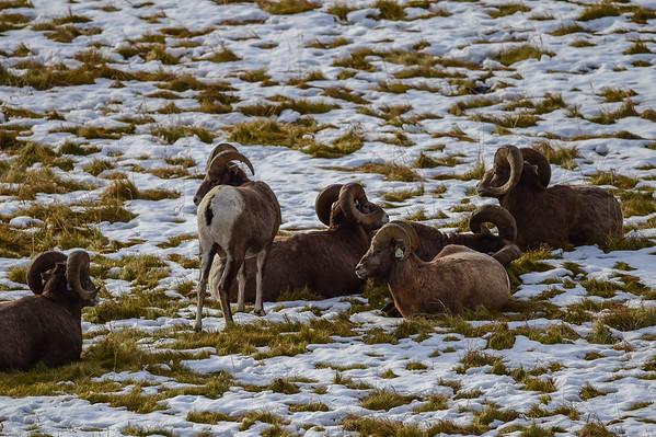 11-06-14 BigHorn Sheep Large Rams
