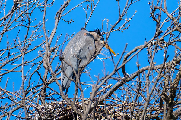Heron Nests - March 2018