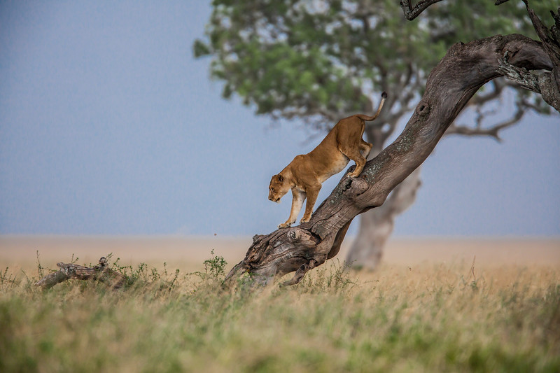 Two female lions climbing down from a tree.<br /> All images are copyrighted. Do NOT use without permission.