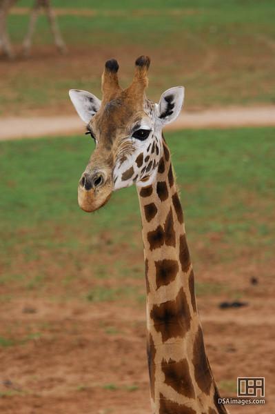 Giraffe at the Monarto Zoo