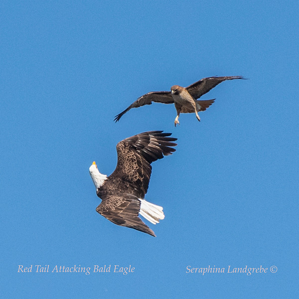 _DSC1603Red Tail attacking Bald Eagle.jpg