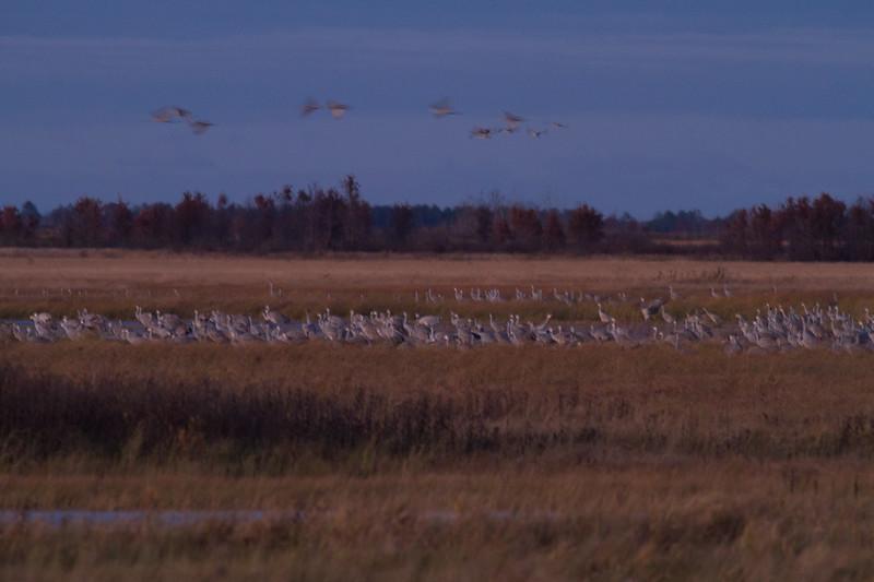 Sandhill Crane flock roosting at dusk Crex Meadows Grantsburg WI IMG_2318.jpg