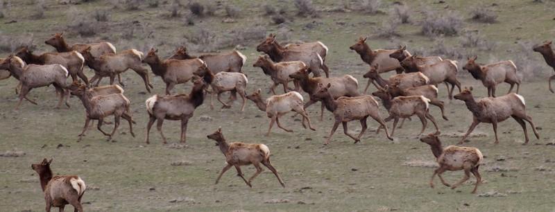 Elk herd Yellowstone National Park WY IMG_5092.jpg