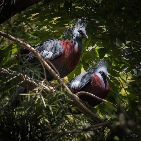 Victoria Crowned Pigeon Pair.jpg