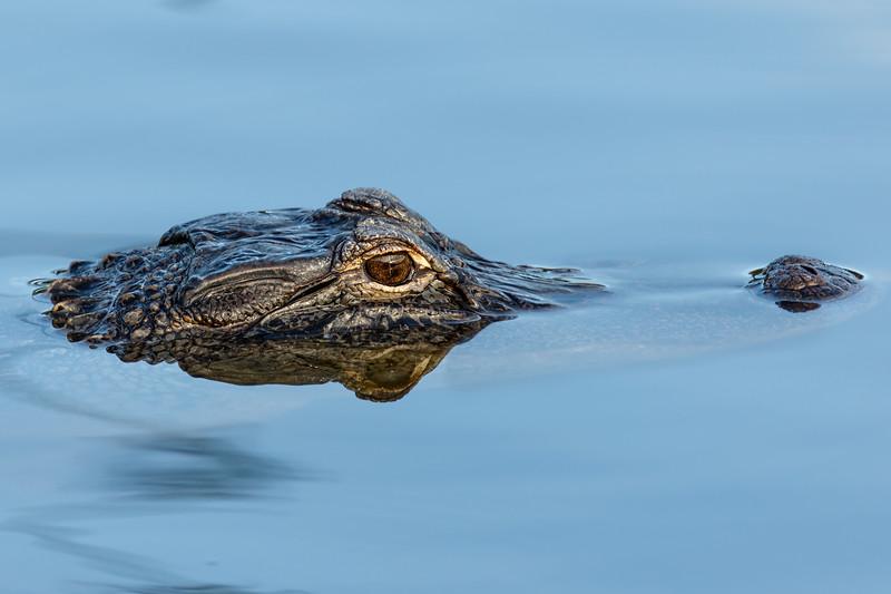 Alligator Basking.jpg