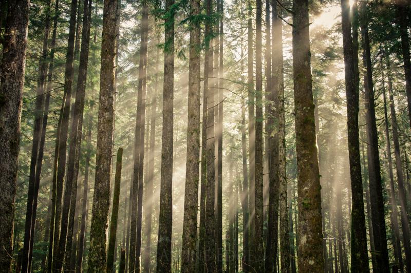Morning sun rays shine through a lush forest