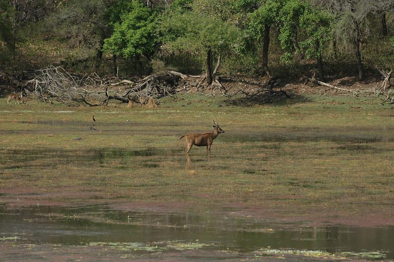Ranthambore National Park: Somber Deer