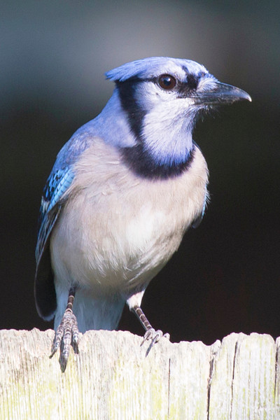 Another Bluejay on the fence