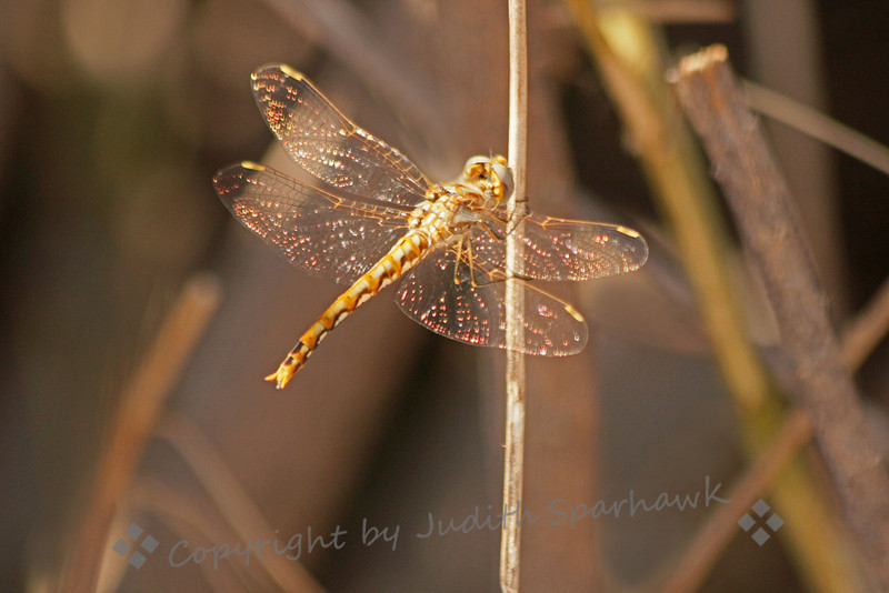 Spot-winged Glider ~ This small dragonfly was photographed at San Jacinto Wildlife Area in Southern California.