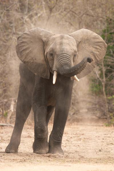 Liwonde - Elephant - 2599.jpg