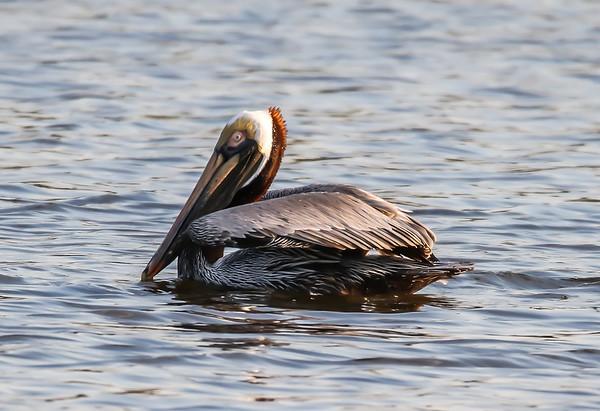Pelicans Commorants