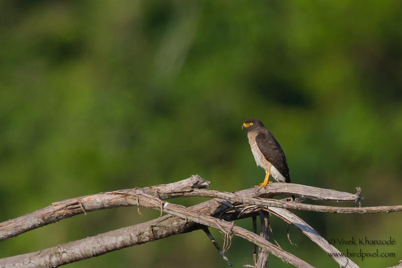 Tiny Hawk - Rio Madre-di-Dios, Peru