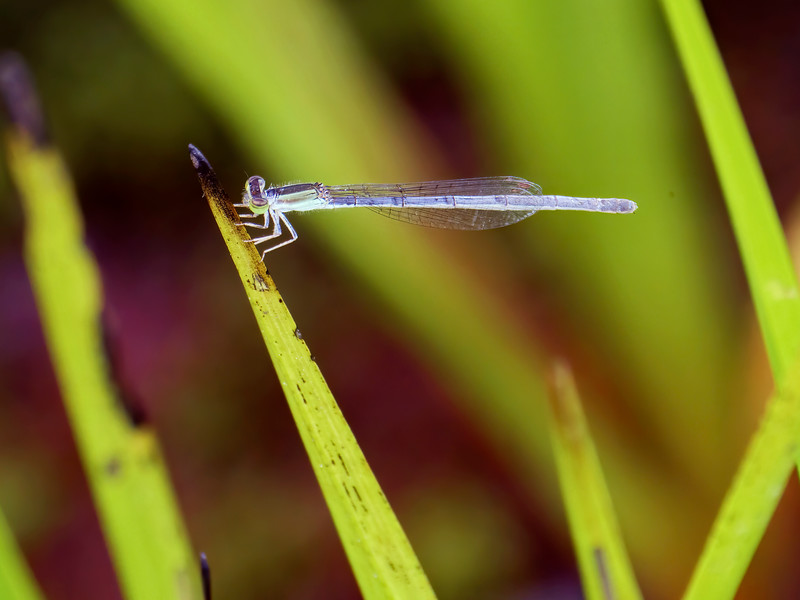 Citrine Forktail (Ischnura hastata), female