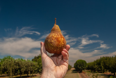 Bosc Pear -  Pyrus communis sp.