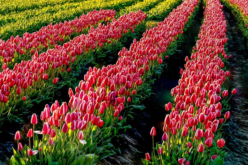 Tulip Rows.jpg
