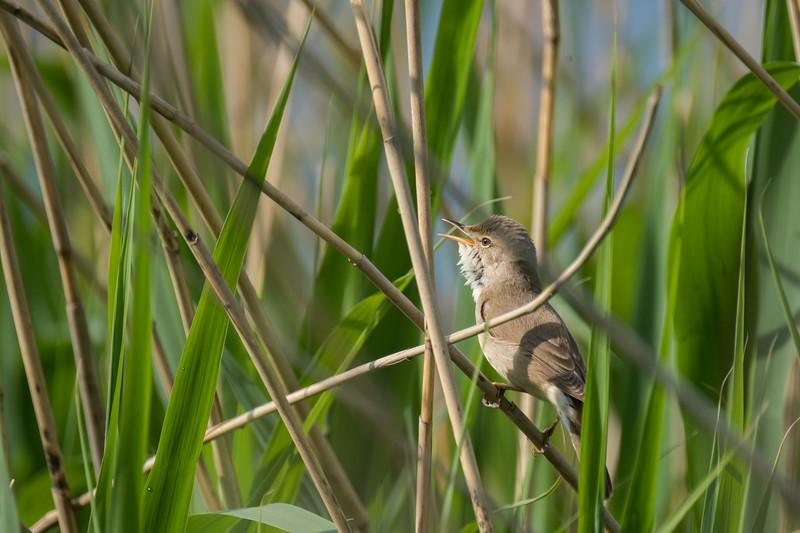 trzciniak | great reed warbler | acrocephalus arundinaceus