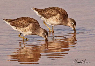 Long-billed Dowitcher
